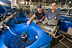 ARS geneticist (right) and fish lab manager collect rainbow trout fingerlings to evaluate their growth rate and resistance to disease: Click here for full photo caption.
