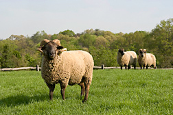 Photo: A Hog Island sheep. Link to photo information
