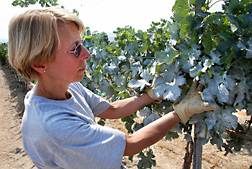 At a worksite in Parma, Idaho, ARS horticulturist inspects Merlot grape leaves sprayed with a film of kaolin clay to alleviate heat stress when vines are grown under deficit irrigation: Click here for full photo caption.