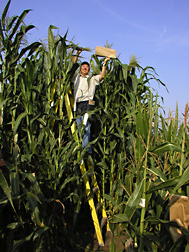 Geneticist pollinates tropical exotic maize as a first step in breeding corn with improved disease resistance, nutritional quality, and bioenergy potential: Click here for full photo caption.