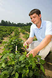 Geneticist harvests leaf tissue from one of many plant progenies derived from crossing the soybean cultivar Williams 82 with a wild soybean: Click here for full photo caption.