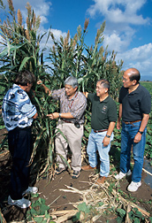 Left to right, ARS entomologists, University of Hawaii professor, and Hawaii Department of Agriculture administrator inspect a Sudax border sprayed with GF-120 protein bait, which helps suppress fruit flies: Click here for full photo caption.