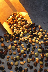 Soybeans from the National Soybean Germplasm Collection housed at Urbana, Illinois, show a wide range of colors, sizes, and shapes: Click here for photo caption.