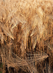 ARS scientists are evaluating U.S. wheat lines for rust resistance in hopes of giving U.S. wheat and barley breeders a head start towards protecting new varieties from Ug99, a deadly wheat stem rust in eastern Africa: Click here for photo caption.
