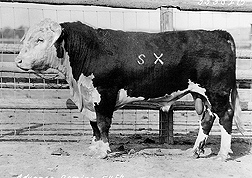 Advance Domino 54, a son of Advance Domino 13, from whom all Line 1 Hereford cattle descend: Click here for photo caption.