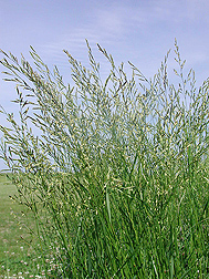 Meadow fescue, Schedonorus pratensis: Click here for photo caption.