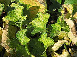 Melon plant with early symptoms of cucurbit yellow stunting disease: Click here for photo caption.