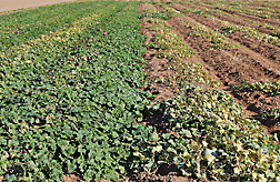 Plants on right are Indian melons, and those on left are resistant accessions from India and Zimbabwe: Click here for full photo caption.