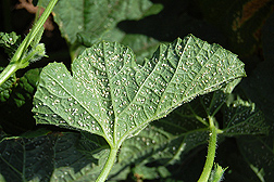 Sweetpotato whiteflies covering melon leaves even after numerous insecticide treatments: Click here for photo caption.