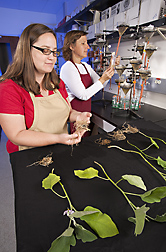 Technician Amanda Rinehart (foreground) and ecologist Nancy Kokalis-Burelle study eggplant roots for nematode damage and root health: Click here for photo caption.