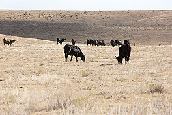 Photo: Cattle grazing on semi-arid rangeland. Link to photo information