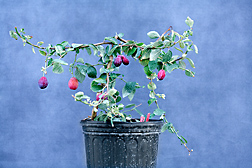 Rather than the 3 to 10 years normally required for a seedling plum to produce fruit, FasTrack plum lines carrying the early-flowering gene produce fruit in less than a year after being planted from seed: Click here for photo caption.