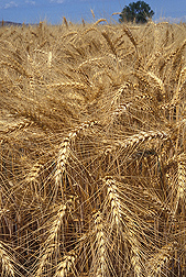AgroAtlas provides maps, photos, and descriptions of crops such as wheat (shown above) and important diseases, insect pests, and weeds that affect production: Click here for photo caption.