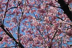 Photo: Helen Taft, a new cherry tree variety.