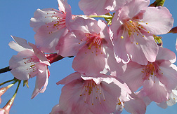 Photo: Close up of a flower from Helen Taft, a new cherry tree variety.