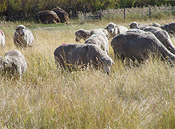 White-faced sheep grazing on crop residue and weeds at the experimental site: Click here for photo caption.