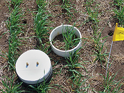 Photo:  Static chamber growing malt barley plants and measuring greenhouse emissions. Link to photo information