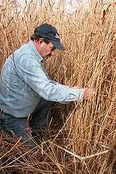 Technician Denny Bookhamer assesses switchgrass stand density in January prior to harvest near Chestertown, Maryland: Click here for full photo caption.