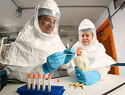 In a secure containment facility in Athens, Georgia, veterinary pathologist David Swayne and microbiologist Joan Beck (retired) determine the success of a new vaccine technology by taking throat swabs from chickens: Click here for photo caption.