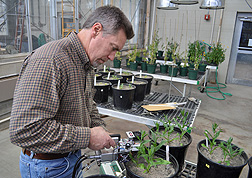Plant physiologist Russ Gesch works with young crop plants in the lab: Click here for full photo caption.