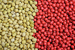 Uncoated soybean seeds (left) and polymer-coated seeds (right): Click here for full photo caption.