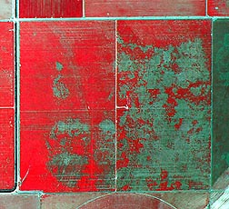 Photo: An aerial infrared image of a cotton field showing areas with cotton root rot in green. Link to photo information