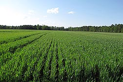 A field of USDA developed Appalachian White hard white winter wheat. Link to photo information