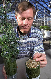 Microbiologist Peter van Berkum compares growth of alfalfa. Click here for full photo caption.