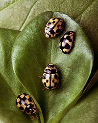 """14-spot"" lady beetles on fava bean leaf: Link to photo information"
