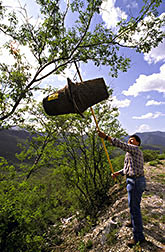 Chemist Raul Rivera attaches a pheromone-baited trap made of nursery pots to a tree.