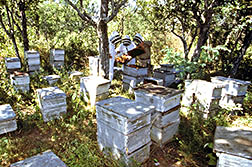 ARS researchers, assisted by a beekeeper, examine bee colonies for parasitic mites.