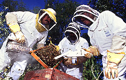 Scientists using smoke and a specially modified handheld vacuum to collect Africanized honey bees.