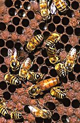 Africanized honey bee queen and drones.