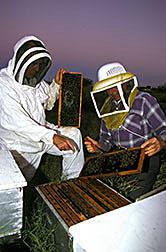 Entomologist William Wilson (left) and beekeeper William Vanderput examine a colony of European honey bees.