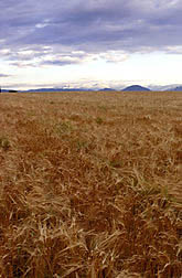 Colorado wheat field.