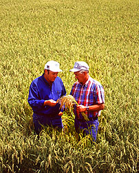 Rice grower Chris Isbell (left) and ARS' Bob Dilday check a field of Akita Komachi rice.