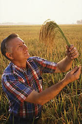 Plant geneticist Bob Dilday inspects a Japanese rice variety.