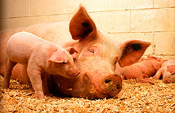 A sow and her piglets: Link to photo information