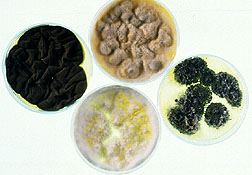 Fungi grown on petri dish