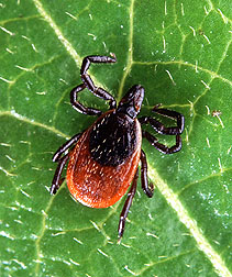 Adult deer tick. Link to photo information