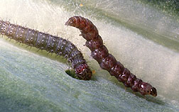 Diamondback moth larvae feed on a cabbage leaf.