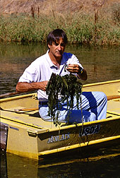 Eurasian watermilfoil at flowerin stage. Click here for full photo caption.