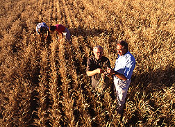 Healthy wheat thriving in a field infected by the fungus that causes wheat take-all. Click here for full photo caption.