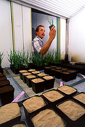 A technician examines plants grown in soil samples collected from long-term wheat. Click here for full photo caption.