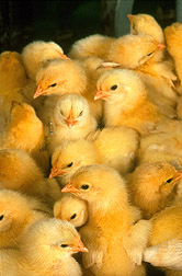 Baby chicks are bred for resistance to ascites. Link to photo information.