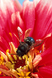 Photo: Blue orchard bee, Osmia lignaria. Link to photo information