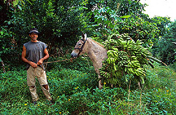 With the help of a donkey, an agricultural worker transports bananas on a farm. Link to photo information.
