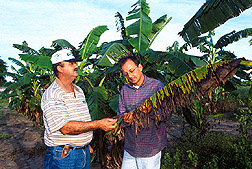 Geneticist Jorge Luiz Loyola Dantas and physiologist Renato de Araújo Dória observe symptoms of the fungal disease Sigatoka on a banana leaf. Link to photo information.