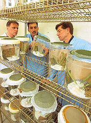 Scientists observe a cage of Brazilian stink bug pests. Link to photo information.