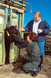 Black Angus heifers, used for identifying genetic resistance to internal parasites, are examined. Link to photo information.